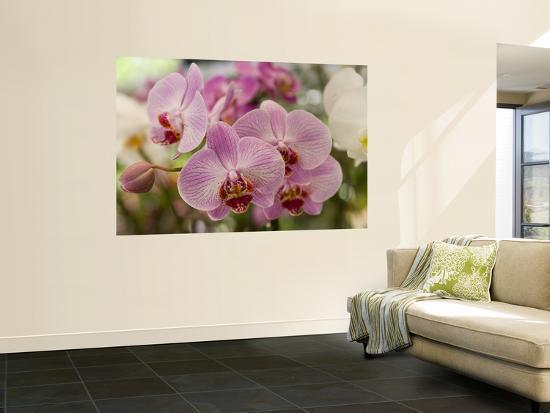 Pink Orchids at Orchid Garden, Kuala Lumpur, Wilayah Persekutuan, Malaysia-Greg Elms-Wall Mural