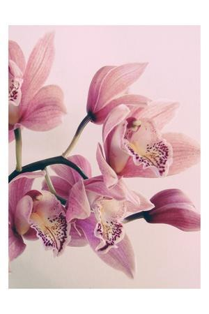 https://imgc.artprintimages.com/img/print/pink-orchids_u-l-q1g83tc0.jpg?p=0