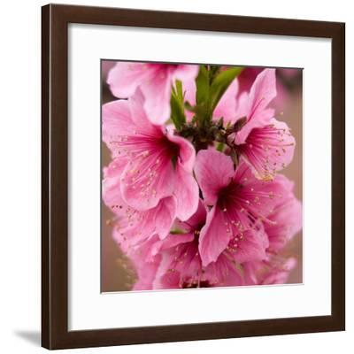 Pink Peach Blossoms Close-Up Macro Village, Chengdu, Sichuan, China-William Perry-Framed Photographic Print