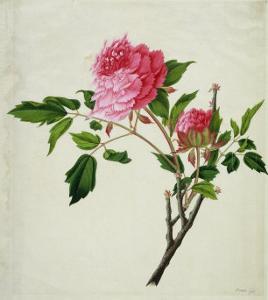 Pink Peony, c.1800-1840