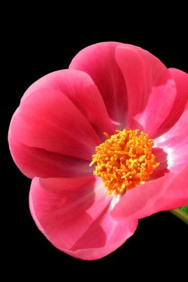 Pink Peony I-Tammy Putman-Photographic Print
