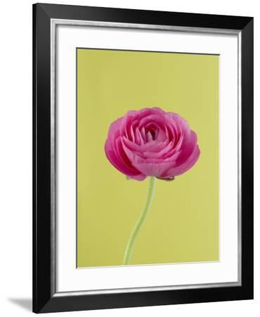 Pink Peony-Clive Nichols-Framed Photographic Print