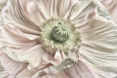 https://imgc.artprintimages.com/img/print/pink-poppy_u-l-q12tzq90.jpg?p=0