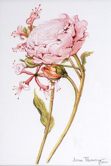Pink Rose, Abraham Derby with Honeysuckle, 2008-Joan Thewsey-Giclee Print