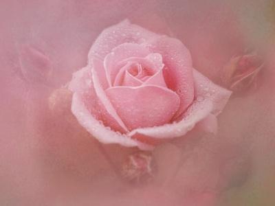 https://imgc.artprintimages.com/img/print/pink-rose-after-the-storm_u-l-pu0pzu0.jpg?p=0