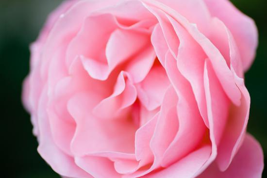 Pink Rose III-Beth Wold-Photographic Print