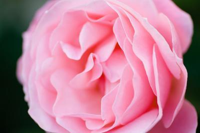 https://imgc.artprintimages.com/img/print/pink-rose-iii_u-l-q10pyij0.jpg?p=0