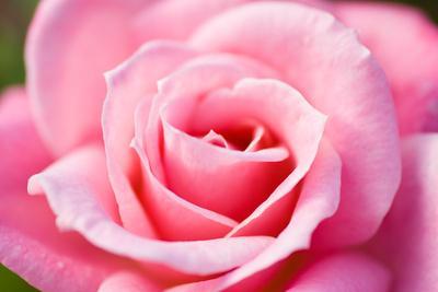 https://imgc.artprintimages.com/img/print/pink-rose-v_u-l-q10pvvx0.jpg?p=0