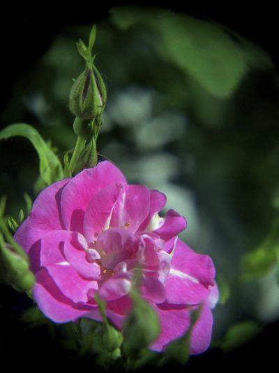 Pink Rose-Anna Miller-Photographic Print