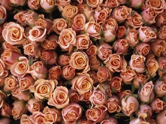 Pink Roses at Albert Kuyp Market-Owen Franken-Photographic Print