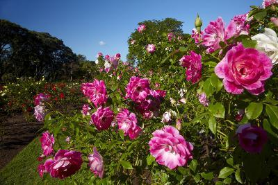 Pink Roses in a Garden, Parnell, Auckland, North Island, New Zealand-David Wall-Photographic Print