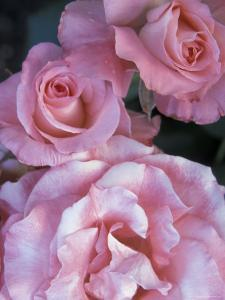 Pink Roses in the Bellevue Botanical Garden, Bellevue, Washington, USA