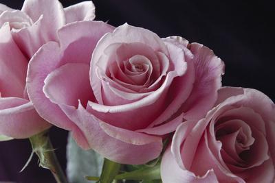 https://imgc.artprintimages.com/img/print/pink-roses_u-l-pyos3f0.jpg?p=0