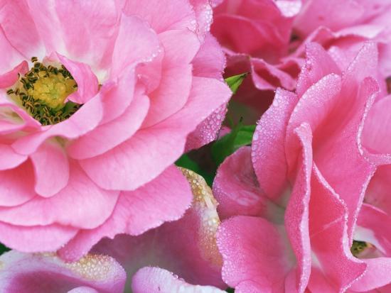 Pink roses-Frank Krahmer-Photographic Print