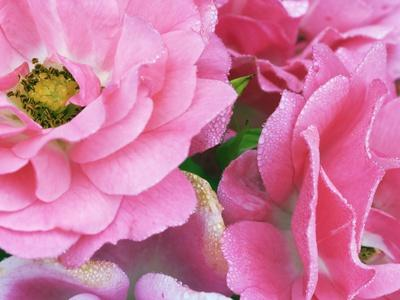 https://imgc.artprintimages.com/img/print/pink-roses_u-l-pzlghl0.jpg?p=0