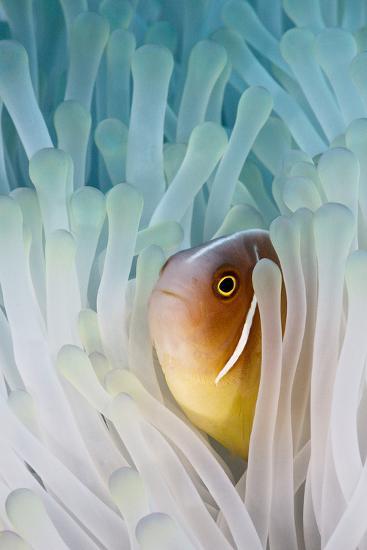 Pink Skunk Clownfish-liquid kingdom - kim yusuf underwater photography-Photographic Print