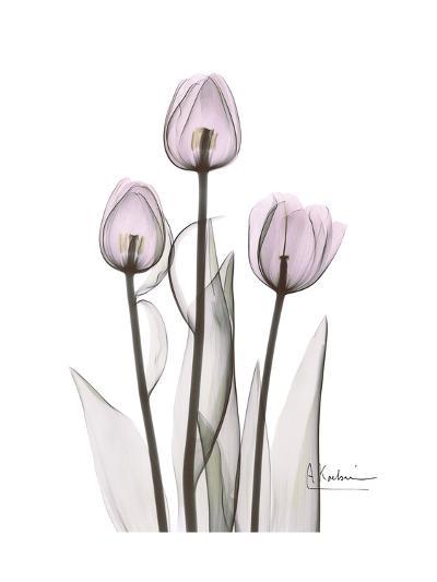 Pink Tulip Portrait-Albert Koetsier-Premium Giclee Print