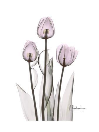 https://imgc.artprintimages.com/img/print/pink-tulip-portrait_u-l-pyjzfi0.jpg?p=0
