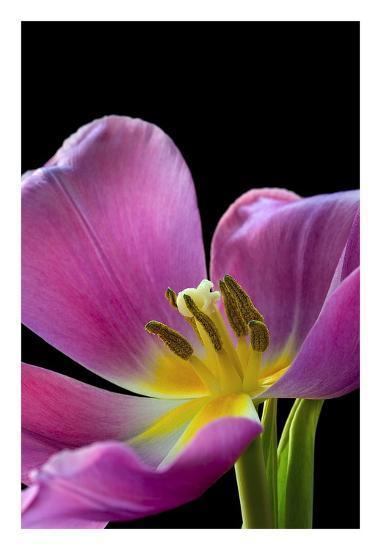 Pink Tulip-Amalia Elena Veralli-Art Print