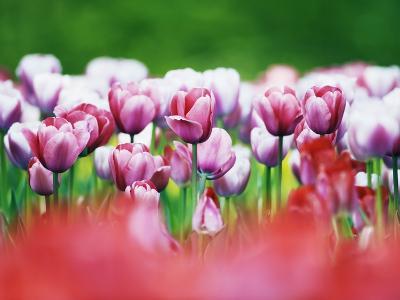 Pink Tulips-Frank Krahmer-Photographic Print