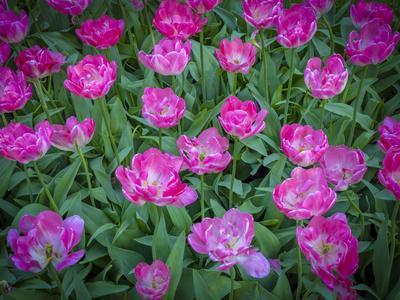 https://imgc.artprintimages.com/img/print/pink-tulips_u-l-q1dbbd20.jpg?p=0