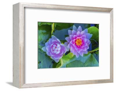 Pink Water Lily Green Lily Pads Perennial VanDusen Botanical Garden, Vancouver, British Columbia-William Perry-Framed Photographic Print