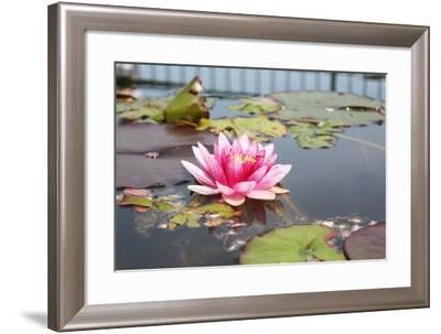 Pink Water Lily-Nik_photos-Framed Photographic Print