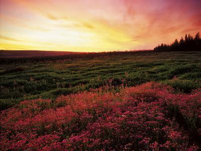 Pink Wild Flowers at Sunset, Cedarberg Wilderness Area, South Africa-Keith Ladzinski-Photographic Print