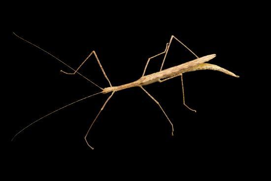 Pink winged walking stick, Sipyloidea sipyleus, at the Budapest Zoo.-Joel Sartore-Photographic Print
