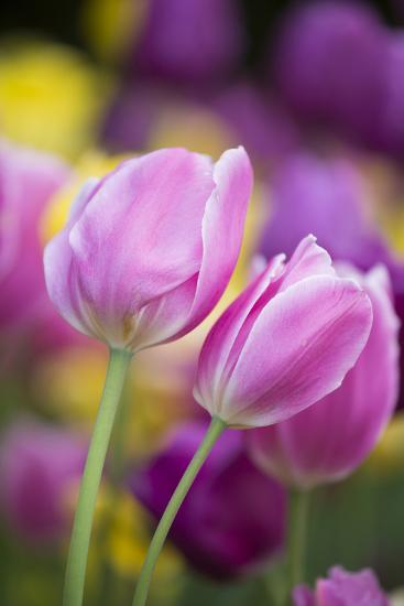 Pink, Yellow, and Purple Tulips, Chicago Botanic Garden, Glencoe, Illinois-Richard and Susan Day-Photographic Print