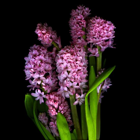 Pinkalicious  Hyacynths-Magda Indigo-Photographic Print