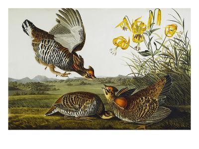 Pinnated Grouse. Greater Prairie Chicken (Tympanuchus Cupido), from 'The Birds of America'-John James Audubon-Giclee Print