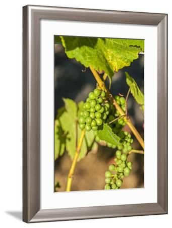 Pinot Gris Grapes Ripen at a Whidbey Island Vineyard, Washington, USA-Richard Duval-Framed Photographic Print