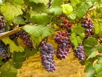 Pinot Noir Grapes in Eastern Yakima Valley, Washington, USA-Richard Duval-Photographic Print