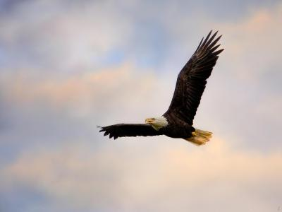 Pinson Mounds Eagle 1-Jai Johnson-Giclee Print