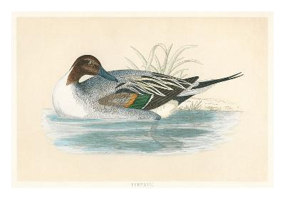 Pintail Duck--Art Print