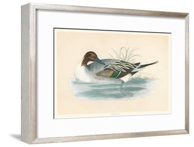 Pintail Duck--Framed Art Print