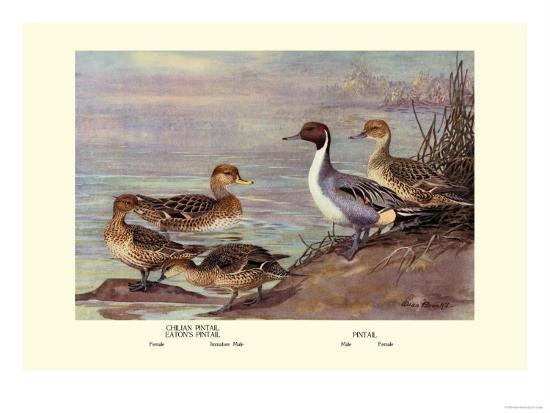 Pintail Ducks-Allan Brooks-Art Print