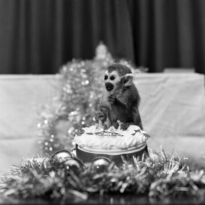 Pip the Squirrel Monkey-Sunday People-Photographic Print