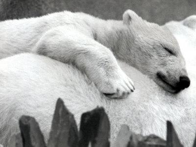 Pipaluk the Baby Polar Bear Sizzling in the Summer Hear--Photographic Print
