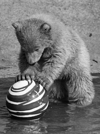 Pipaluk with Sally, His Mum, Playing with a Ball at London Zoo Today. March 1968--Photographic Print