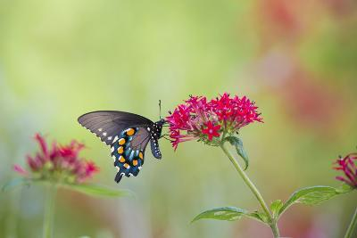 Pipevine Swallowtail Butterfly Male on Red Pentas, Marion County, Il-Richard and Susan Day-Photographic Print