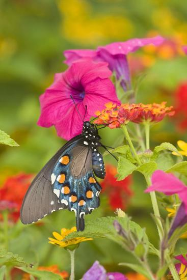 Pipevine Swallowtail on Red Spread Lantana, Marion Co. Il-Richard ans Susan Day-Photographic Print
