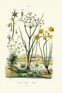 Pipewort, 1833-39