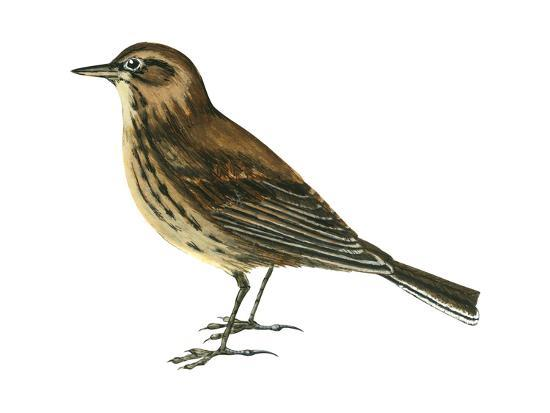 Pipit (Anthus Spinoletta), Birds-Encyclopaedia Britannica-Art Print