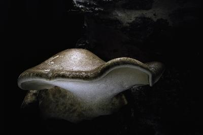 Piptoporus Betulinus (Birch Polypore, Birch Bracket, Razor Strop Fungus)-Paul Starosta-Photographic Print