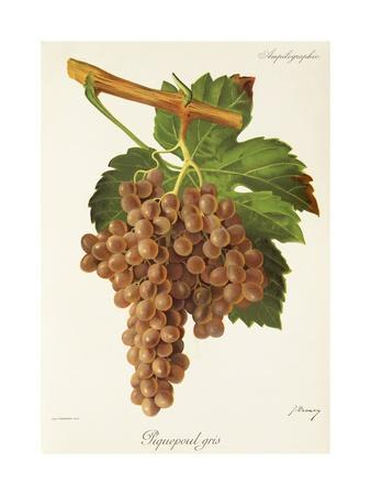 Piquepoul Gris Grape-J. Troncy-Giclee Print