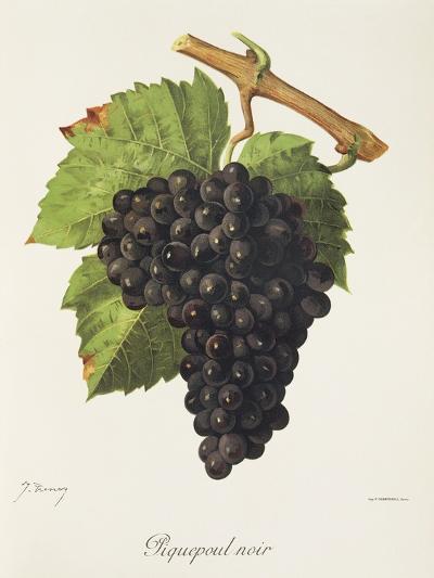 Piquepoul Noir Grape-J. Troncy-Giclee Print