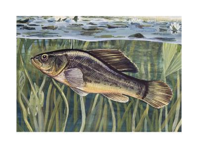 Pirate Perch (Aphredoderus Sayanus), Aphredoderidae, Drawing--Giclee Print