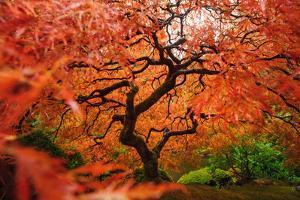 Japanese Maple by Piriya Photography